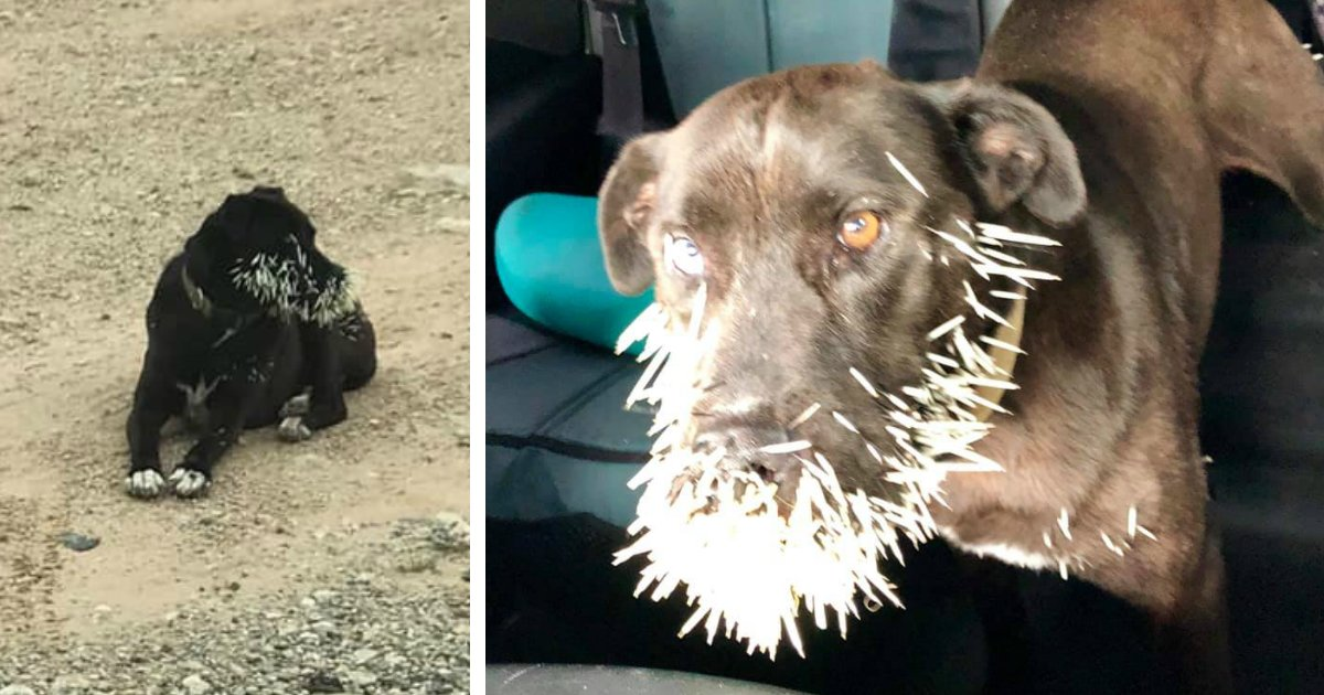 dog with porcupine quills rescued