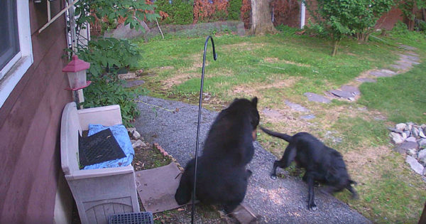 Fearless Dog Chased Bear From Neighbor's Yard And Security Cameras Caught The Whole Thing