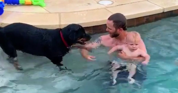 This Rottweiler Lifeguard Won't Stop Trying To Save His Tiny Human And It's Adorable