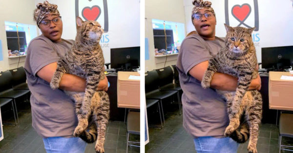 Enormous 26-lb Shelter Cat Mr. B Went Viral & This 'Chonk' Broke The Internet Looking For A Home