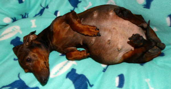 Paralyzed And Pregnant Dachshund Maria Gets Dumped By Owner
