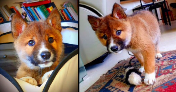 Woman Ends Up With Dingo As A Pet After Eagle Drops What She Thinks Is A Puppy In Her Yard