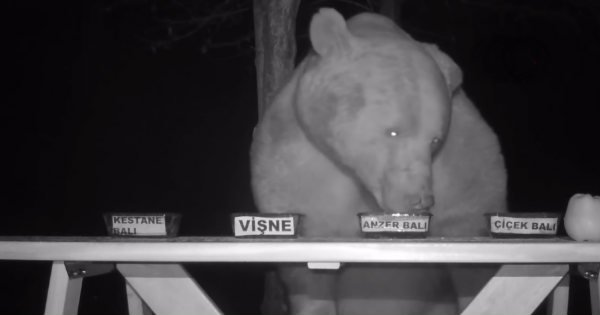 bears stealing honey