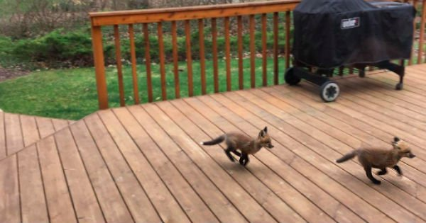 cute baby foxes playing