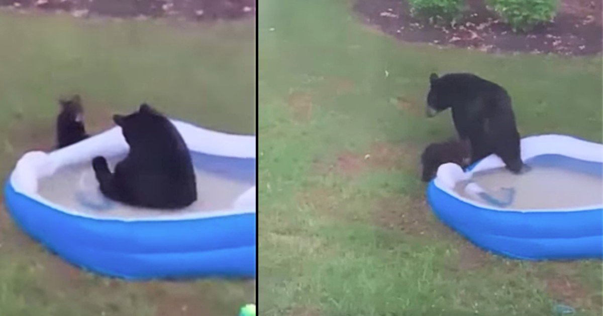 bears in swimming pool