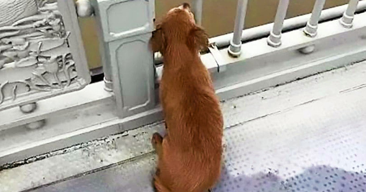dog waiting for owner on bridge