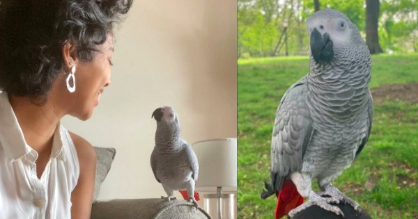 missing african grey parrot