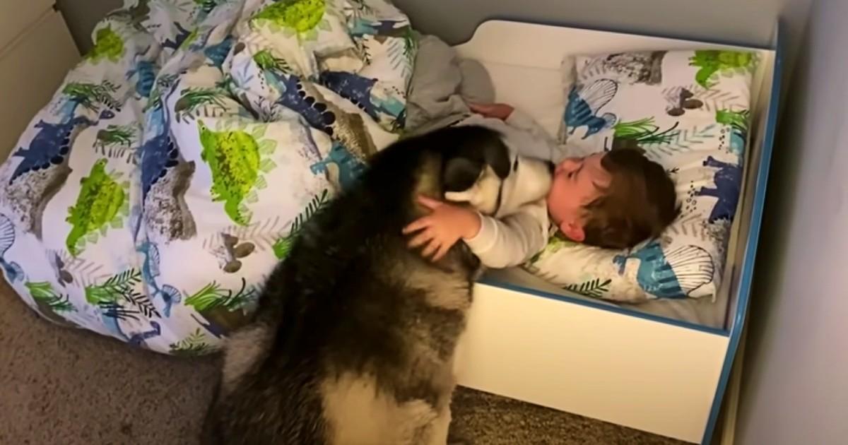 husky wakes sleeping baby