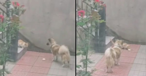 Dog With A Heart Of Gold Can Be Seen Bringing Food To Feed A Stray Cat