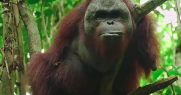 orangutan's comeback story
