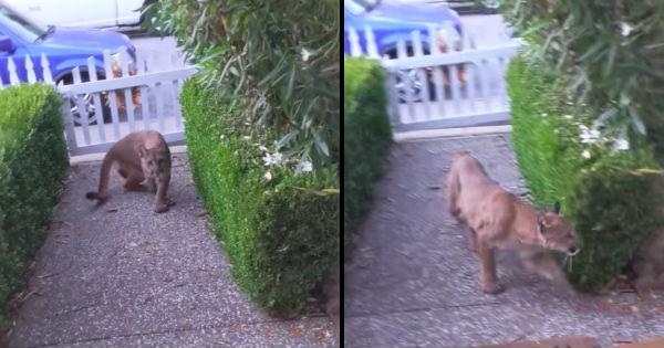 man finds mountain lion watching kids