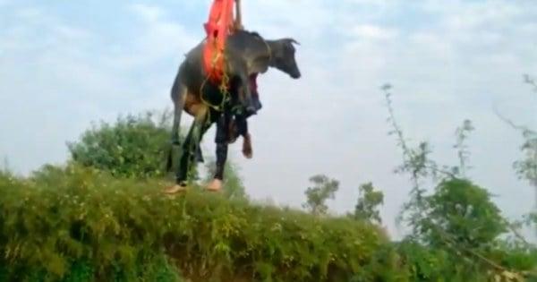 rescue a cow