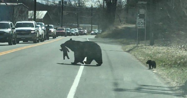 mother bear protecting her cubs on highway