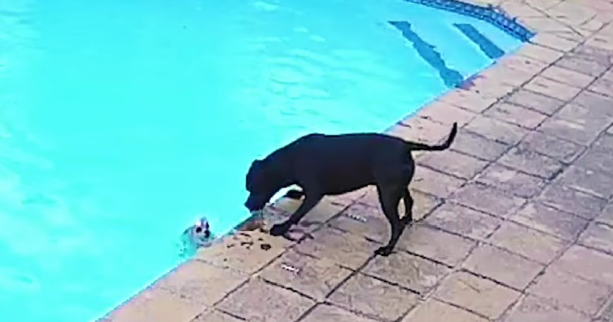 dog falls into pool