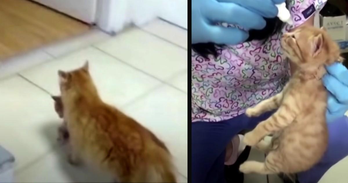 mom cat carrying kitten into hospital