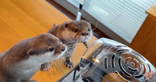 Asian Small-Clawed Otters Hana and Kotaro