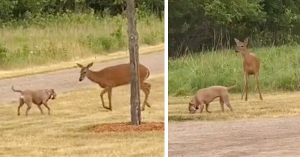 pit bull and deer