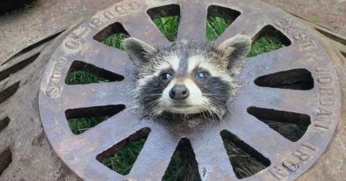 raccoon stuck in drain