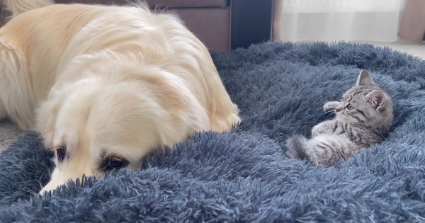 kitten on bed dog reacts