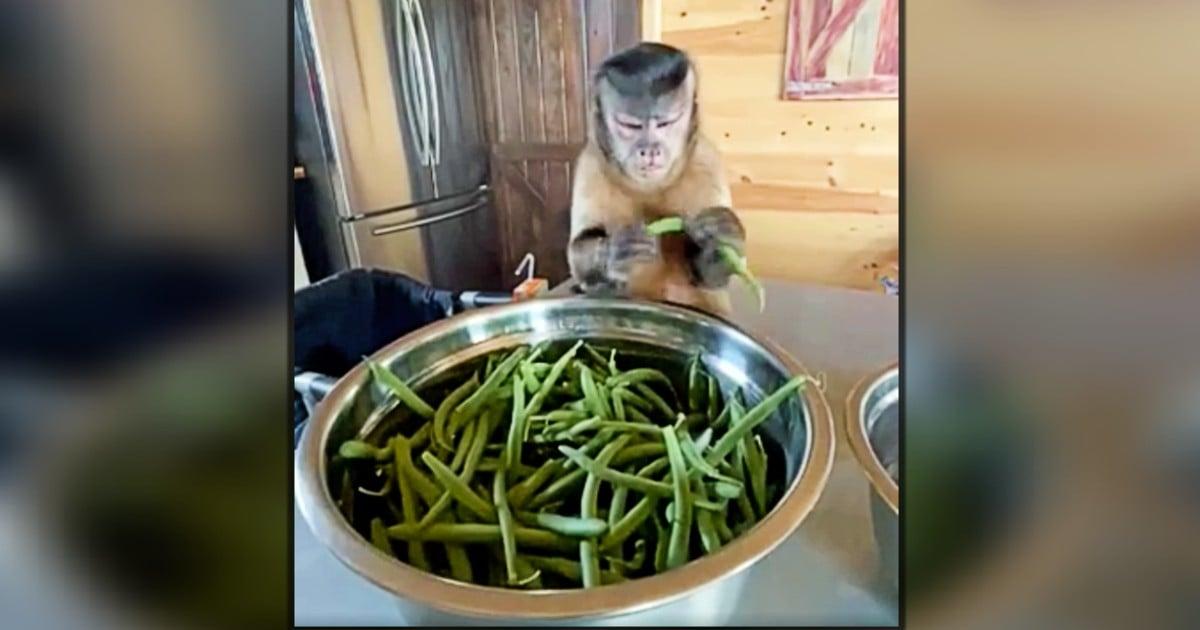 capuchin monkey as a pet gaitlyn rae