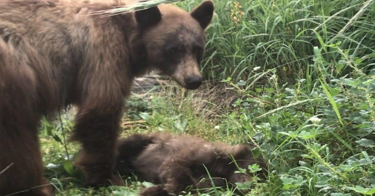 dead bear cub park ranger warning
