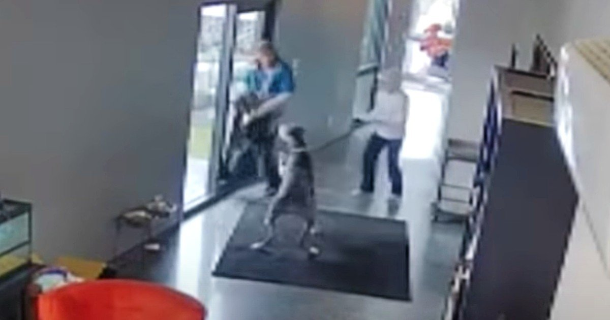protective great dane chases off intruder