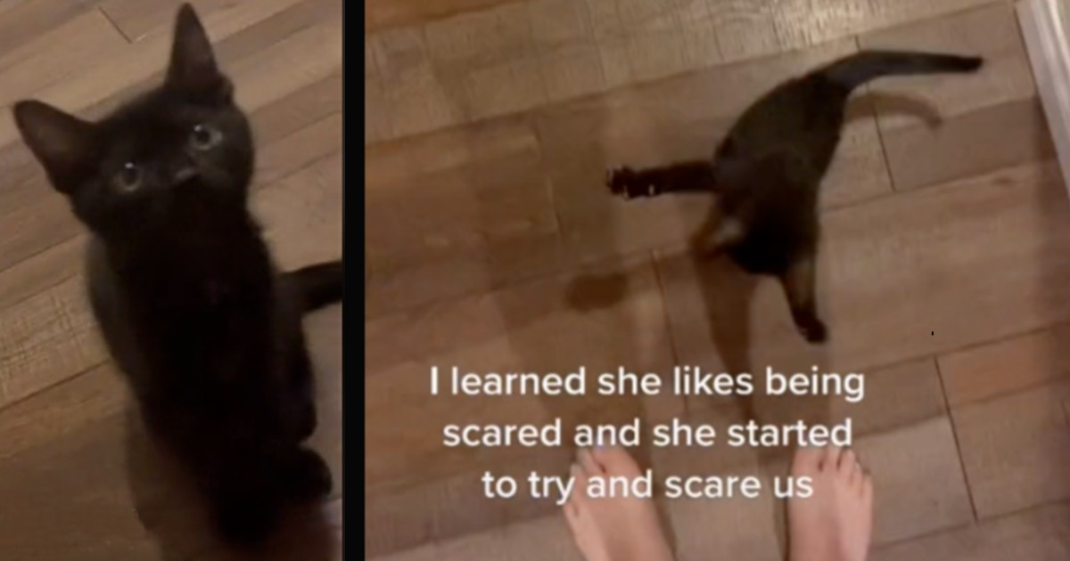 sneaky cat tries to scare owner