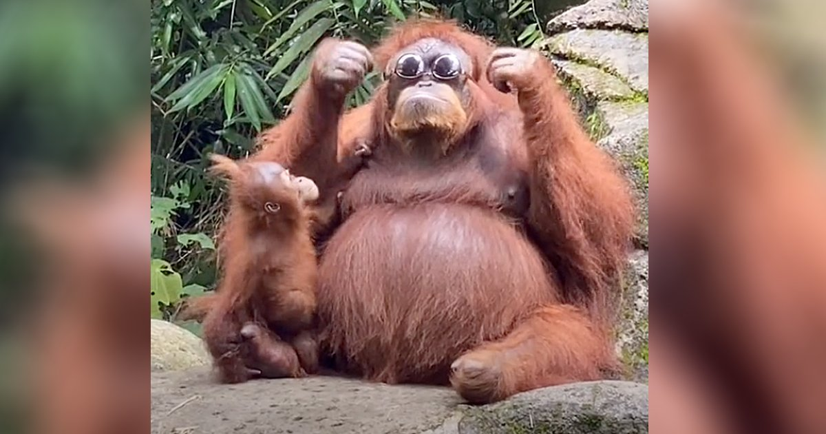 orangutan with sunglasses