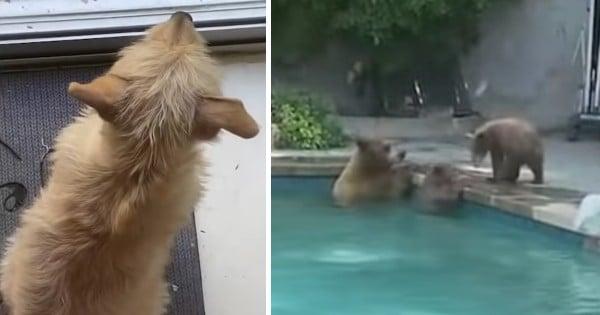 family of bears in swimming pool