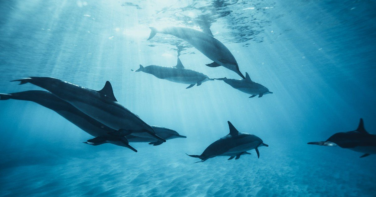 lost swimmer rescued by dolphins