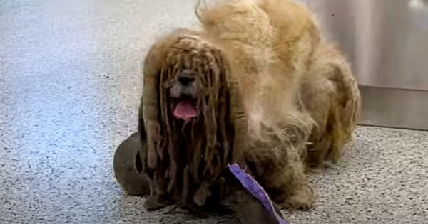 Severely Matted Fur On Dog Made It Look Like He Had 6 Legs But Just Wait For His Transformation