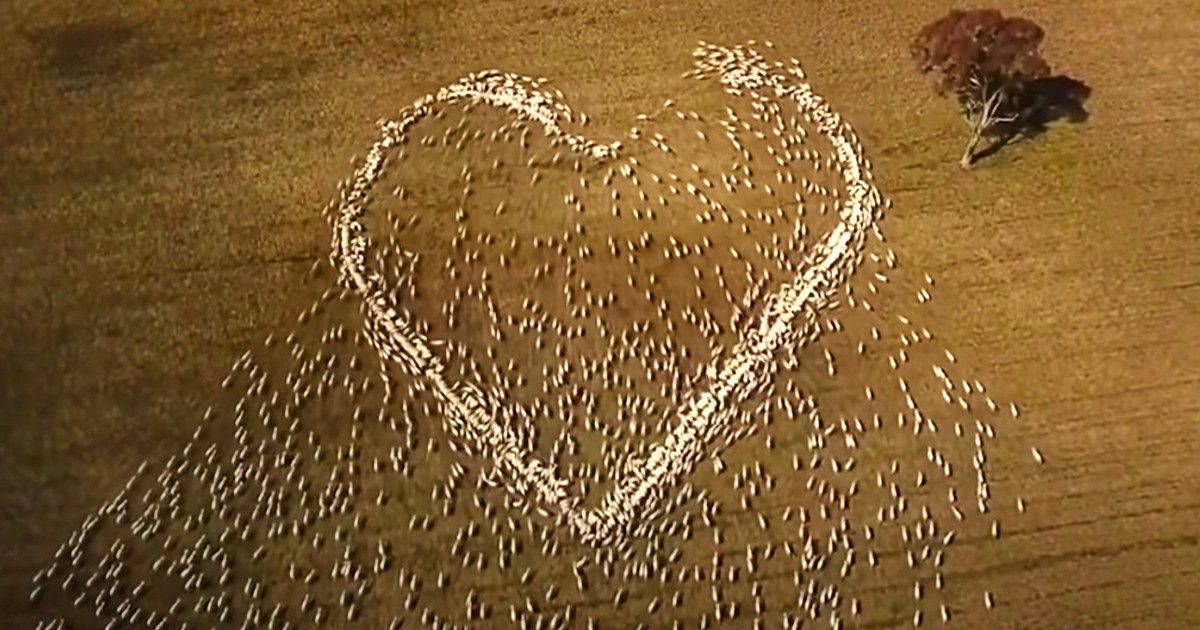 sheep farmer heart tribute
