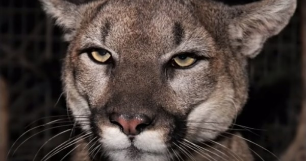 mom saves son from mountain lion